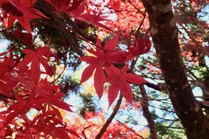 大山の紅葉は今が見頃ですよ〜!